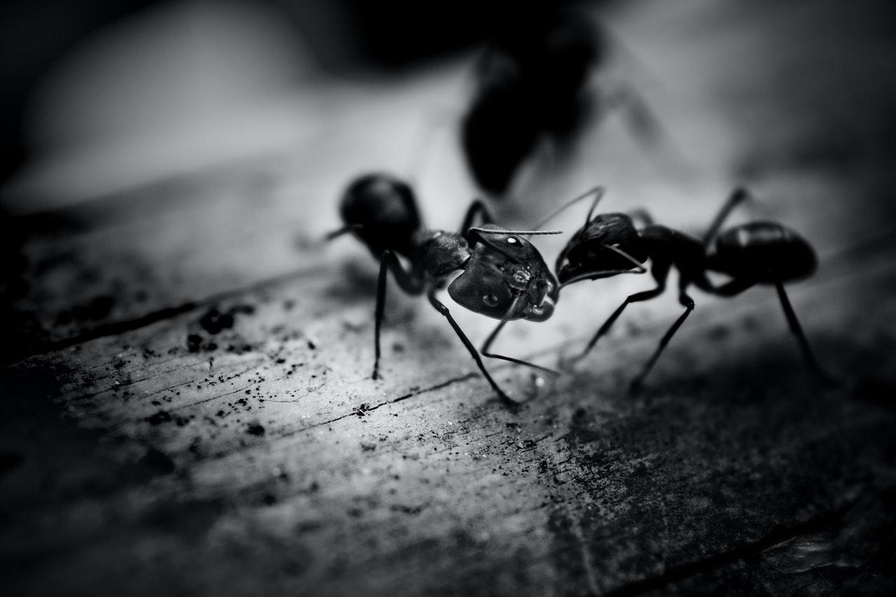 Buy ants